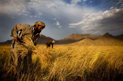 1-Poisoned-Wheat–Afghanistan-1974
